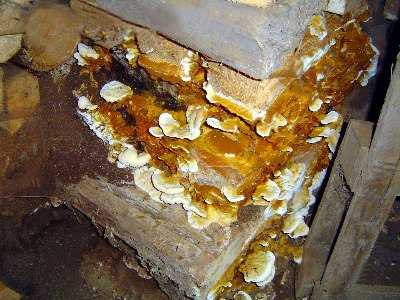 dry rot mushrooms in cellar